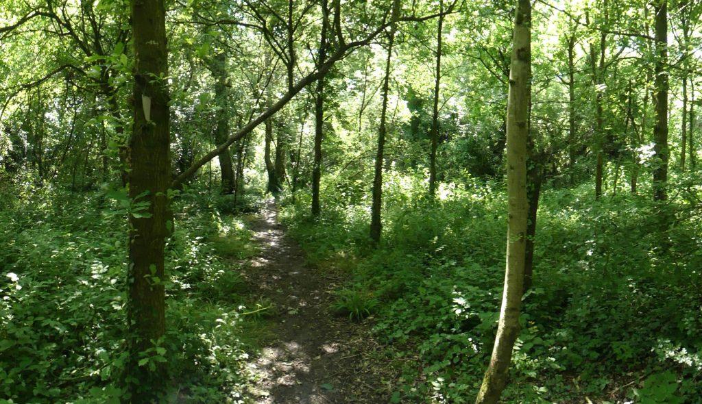 Semi-mature ash trees in the Centenary Wood
