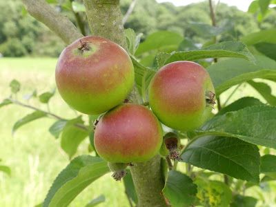 Apples in the Orchard for the Future at Wapley Common