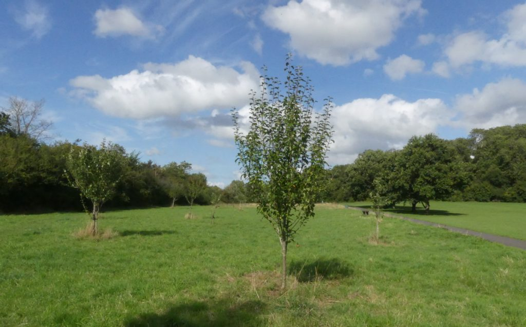 Young apple trees on the orchard strip on Wapley Common