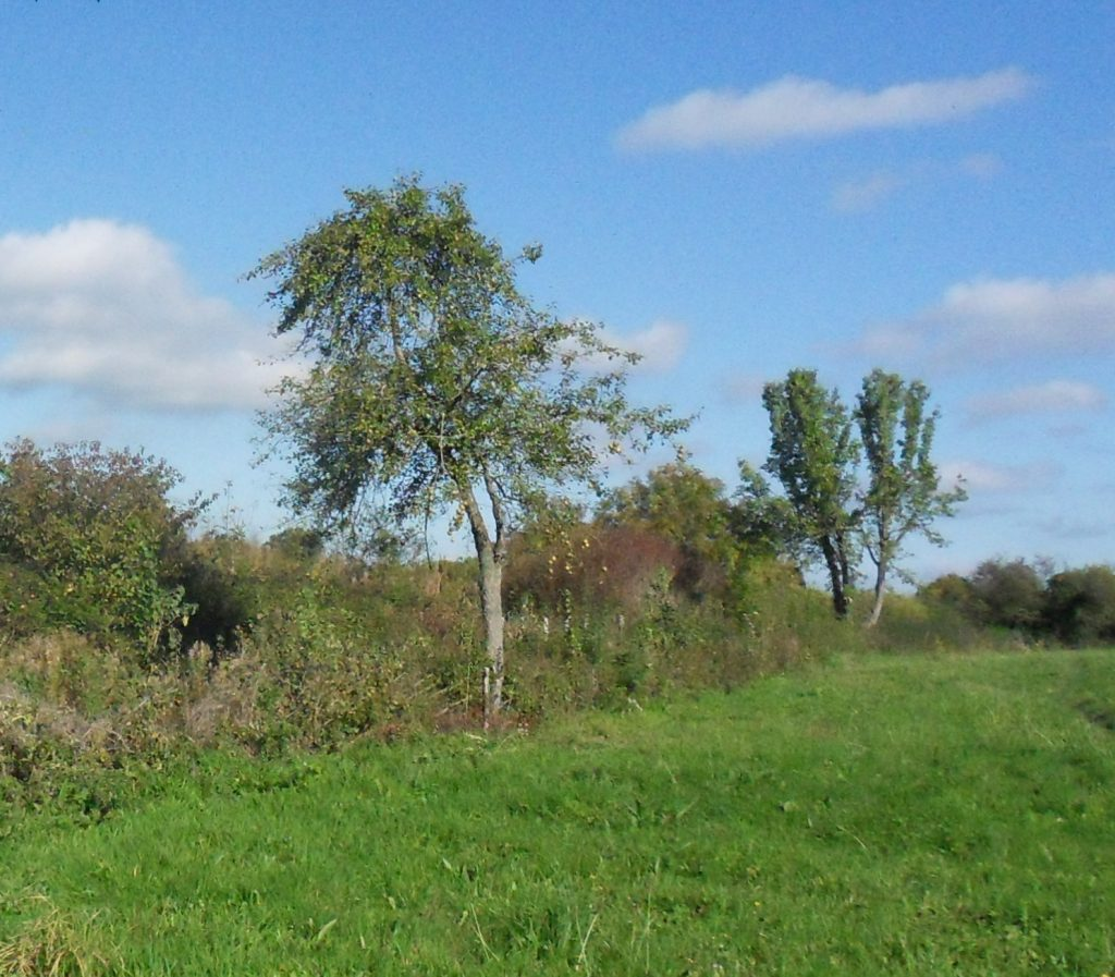 Wild pear trees in the Lower meadow hadge - another part of the Orchard for the Future at Wapley Common
