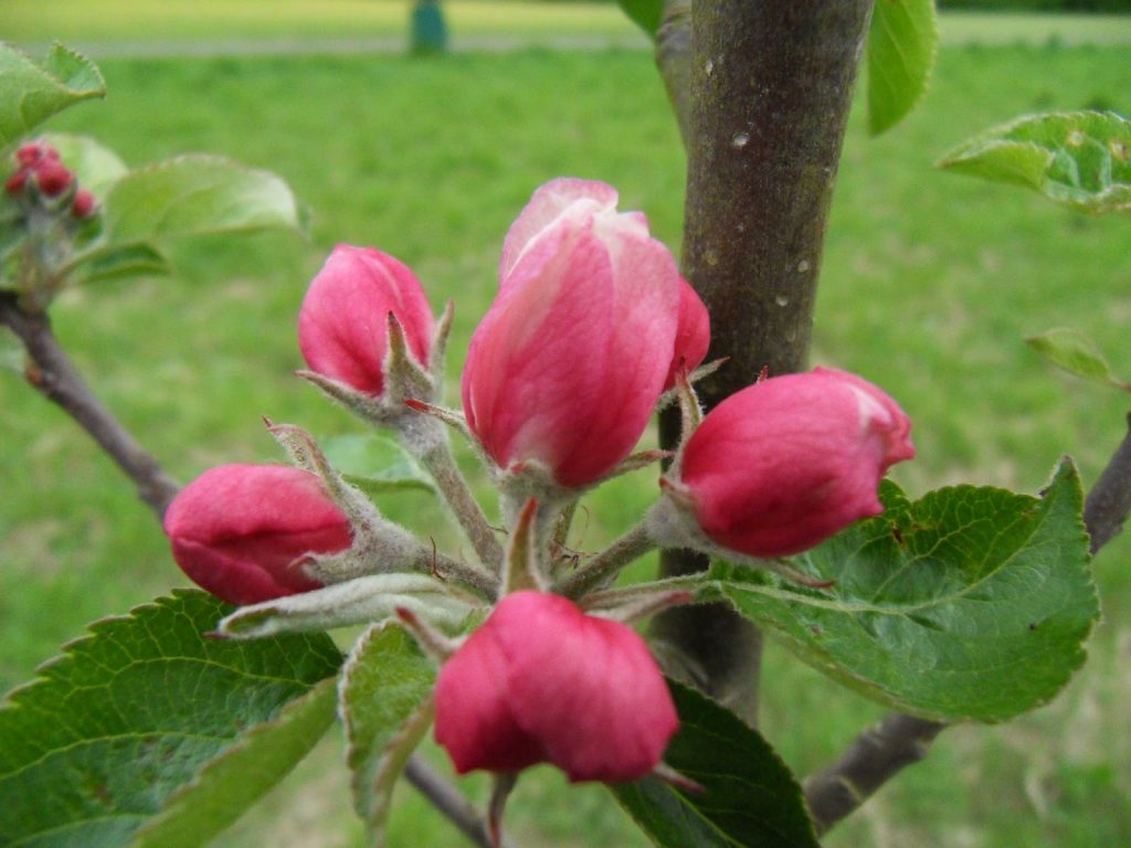 Apple blossom in the Orchard for the Future at Wapley Common