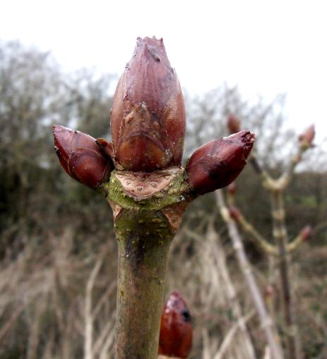 The sticky buds of horse chestnut